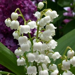 Muguet Key Accord