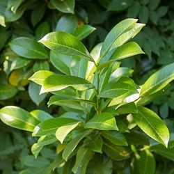 Laurel Leaf - Turkey