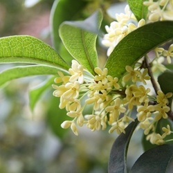 Osmanthus Absolute (P&N)