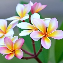 Plumeria - Key accord **